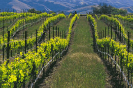 Tri-Valley grapes