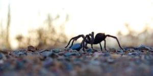 Tarantulas. Photo Ken-ichi Ueda