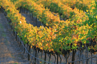 Harvest Season in the Tri-Valley | Livermore Valley Wine Country | Visit Tri-Valley