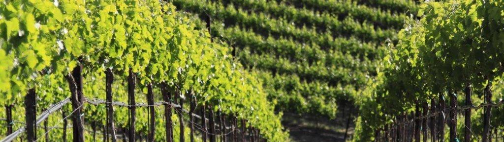 wente vines