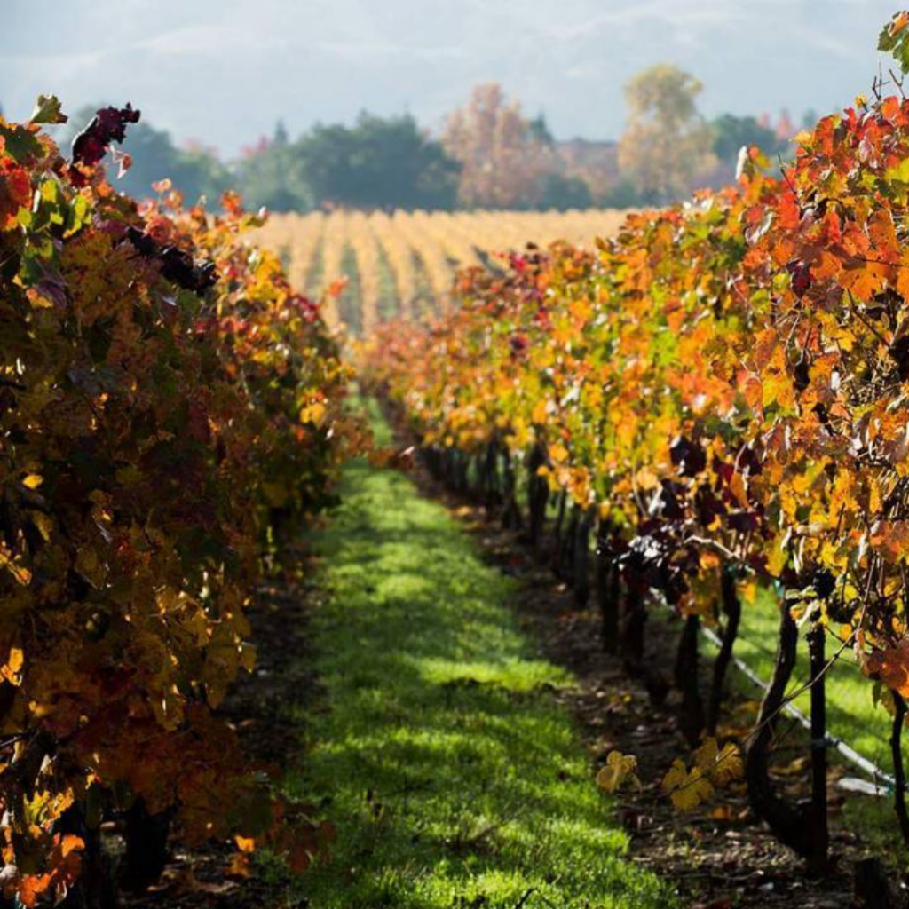 orange and amber colored vineyards in the fall