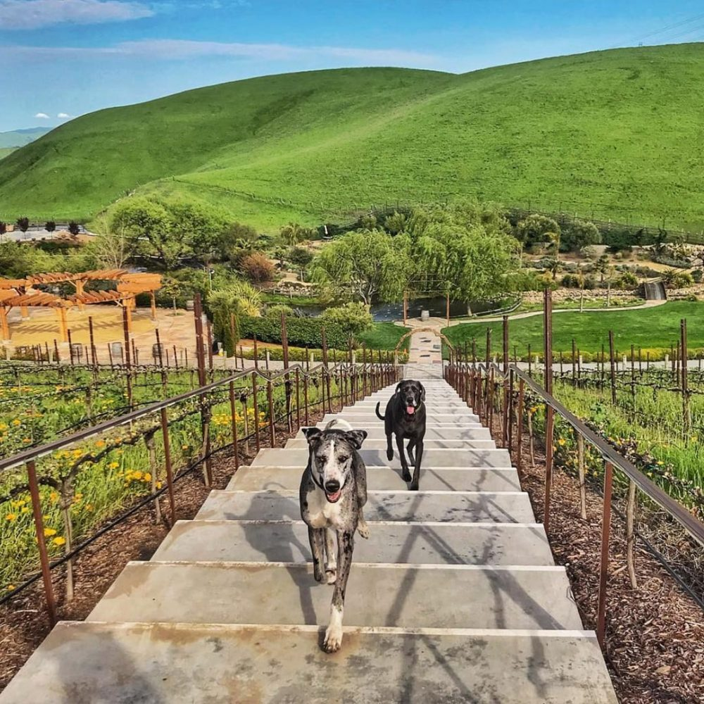 Two dogs walking up stairs at a winery