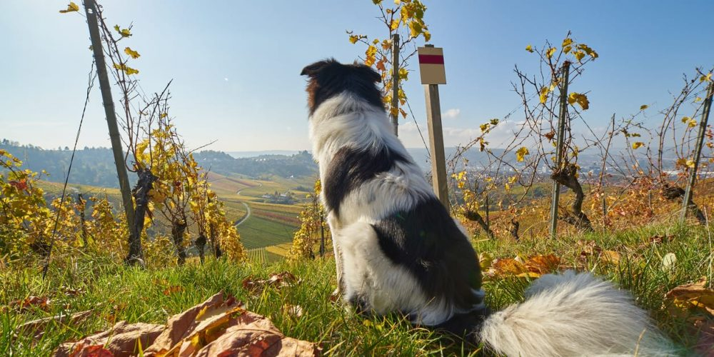 Photo of a cute dog sitting in the vineyard and looking at the city of Stuttgart
